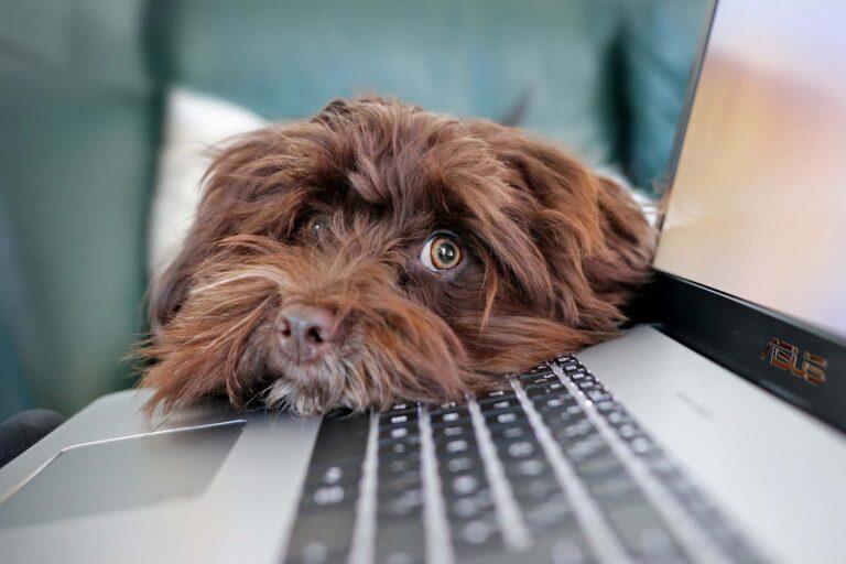 Hund liegt mit dem Kopf auf einem Laptop